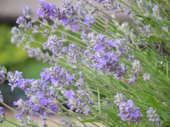 Lavender: mosquitoes, moths, fleas, ticks