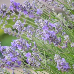 Lavender: mosquitoes, moths, fleas, ticks
