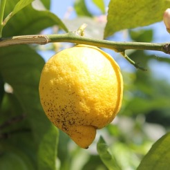 Lemon: mosquitoes, ticks,